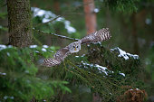 Tawny owl hunting and flying from coniferous tree
