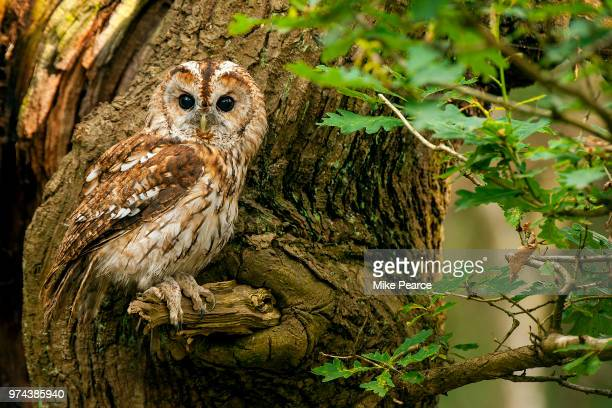 Tawny owl perching on branch, England, UK