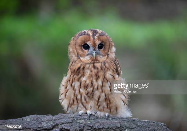 tawny owl - wildlife stock pictures, royalty-free photos & images