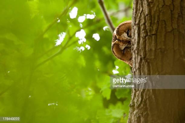 Tawny Owl  (Strix aluco)