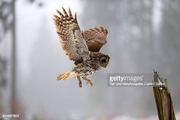 tawny owl, (strix aluco) - czech hunters stock pictures, royalty-free photos & images