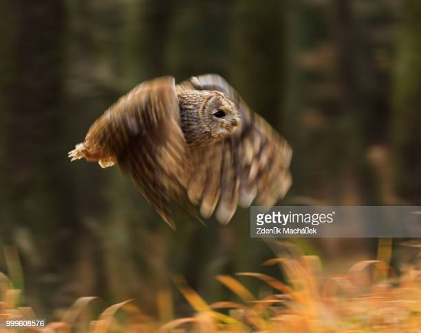 tawny owl - czech hunters stock pictures, royalty-free photos & images