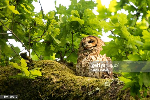 a tawny owl sat in an oak tree - springtime stock pictures, royalty-free photos & images