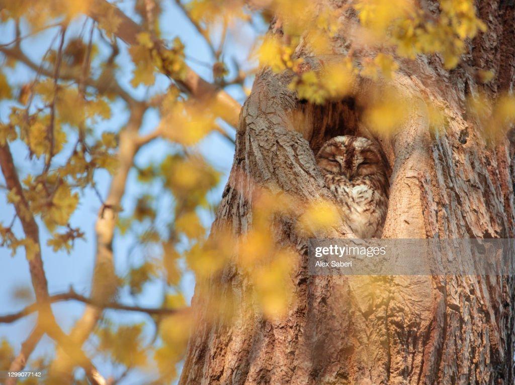 A tawny owl sleeping in a tree. : Stock Photo