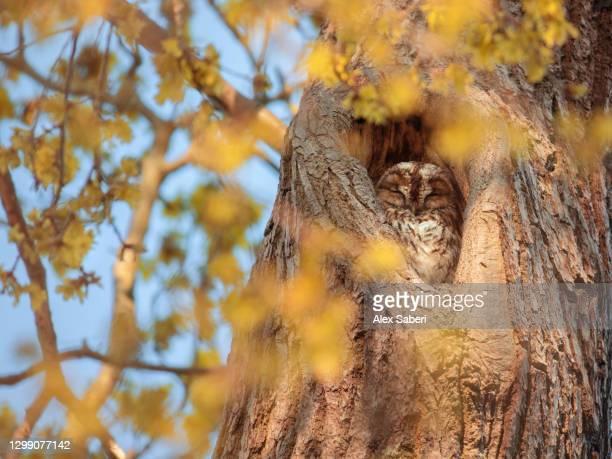 a tawny owl sleeping in a tree. - alex saberi fotografías e imágenes de stock