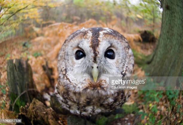 Tawny Owl, Strix aluco, autumn Kent, UK.