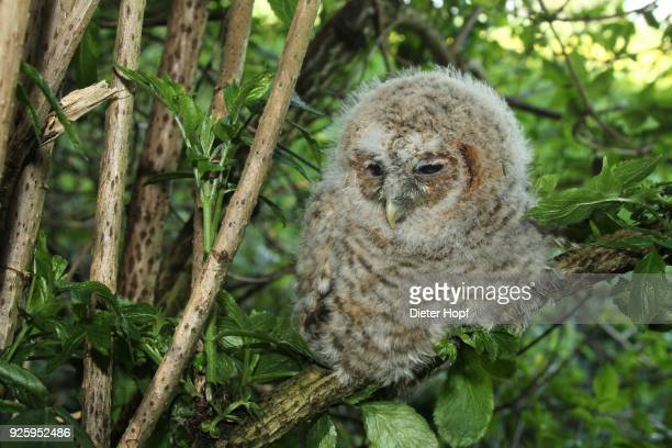 tawny owl (strix aluco), young bird sitting in tree, 30 days old, allgaeu, bavaria, germany - day old chicks stockfoto's en -beelden
