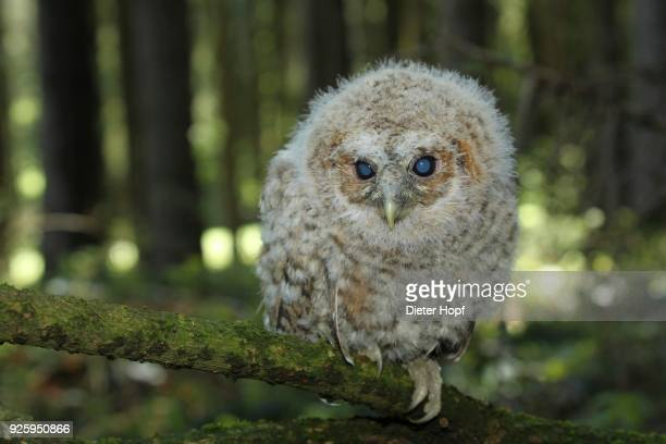 tawny owl (strix aluco), young bird sitting on branch, 30 days old, allgaeu, bavaria, germany - day old chicks stock photos and pictures