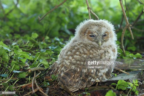 tawny owl (strix aluco), young bird sitting on the ground, 30 days old, allgaeu, bavaria, germany - day old chicks stock photos and pictures