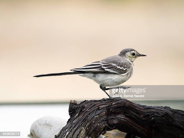 Tawny Pipit (Anthus campestris), Walking on a trunk.  It is a species of bird paseriforme of the family Motacillidae.