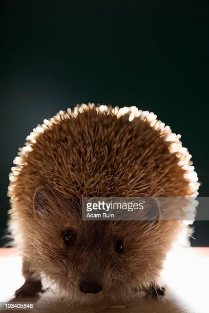 A taxidermic hedgehog