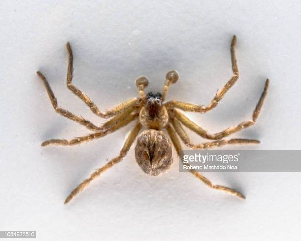Taxidermied Huntsman Spider or Heteropoda Venatoria The piece is part of the exhibit Spiders in the Royal Ontario Museum
