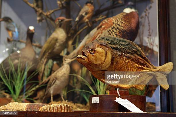 Taxidermied piranha fish is pictured available for auction at The Gentleman's Library Sale at Bonhams auction house on January 19, 2009 in London,...