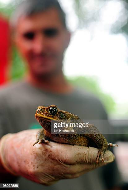 Taxidermist Kevin Byrnes holds a cane toad during the nowannual Toad Day Out 2010 at the Thuringowa Soundshell on March 28 2010 in Townsville...