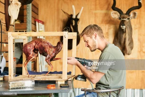 taxidermist setting the pose of a new piece in his workshop - palanca negra imagens e fotografias de stock