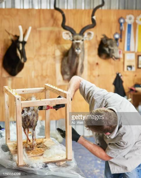 taxidermist working on a mold in his workshop - palanca negra imagens e fotografias de stock
