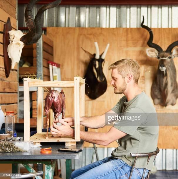 taxidermist working on the pose of a new piece - palanca negra imagens e fotografias de stock
