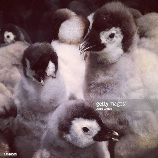 Taxidermy Antarctica penguins huddled together