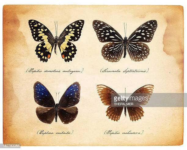 taxidermy butterflies - zoology stock pictures, royalty-free photos & images