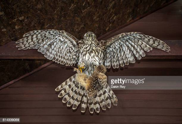 Taxidermy Hawk, Bowdoin Park - New York