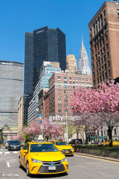 Taxis run along the full-blossomed rows of cherry blossom trees at Park Avenue in Manhattan New York City. Grand Central Terminal, Chrysler Building and other Midtown Manhattan buildings surround the Avenue.