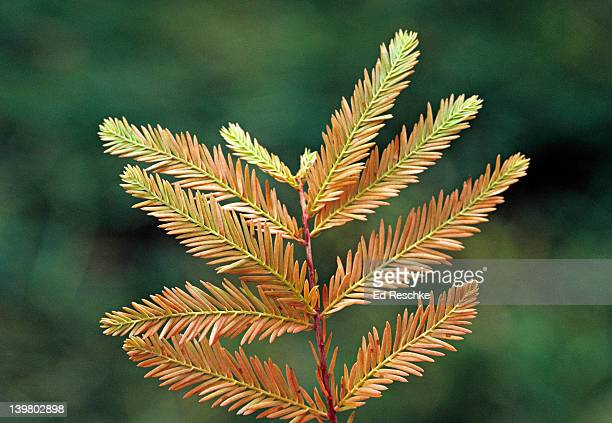 bald cypress leaves turning brown in the fall. taxodium distichum. deciduous tree; sheds leaves. wet swampy soils. southern illinois. - bald cypress tree imagens e fotografias de stock