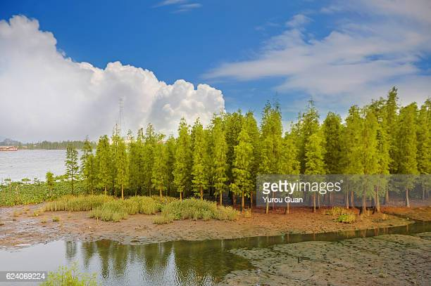 taxodium distichum (l.) rich. - bald cypress tree stock photos and pictures