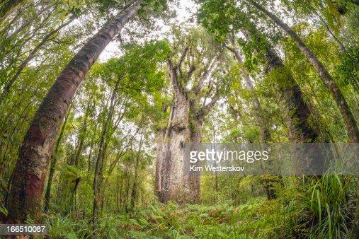 Te Matua Ngahere Giant Kauri Tree High-Res Stock Photo ...