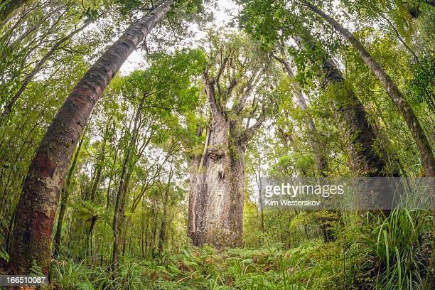 Te Matua Ngahere, giant Kauri tree