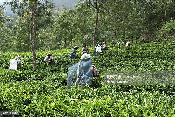 tea and rubber plantation,