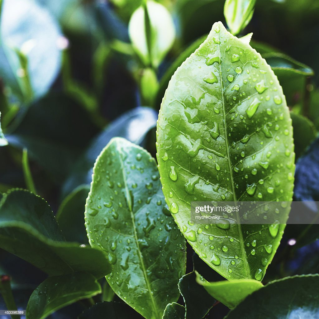 Tea Crop : Stock Photo
