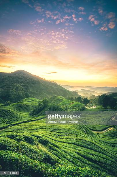 Tea Crops Growing On Field Against Sky During Sunset