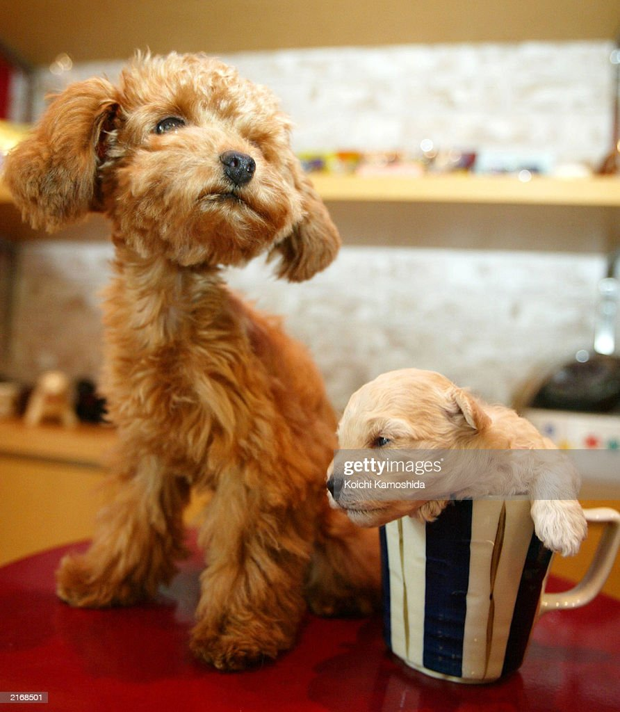 A Tea Cup Poodle Puppy Dozes Off In A Mug At A Pet Shop On July 17 News Photo Getty Images
