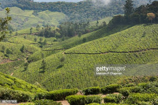 Tea estate and plantations with beautiful scenery, Munnar, Kerala, India