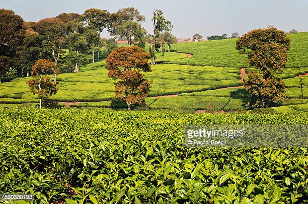 Tea estates and trees - Thyolo - Malawi