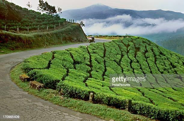 Tea estates Munnar Kerala India