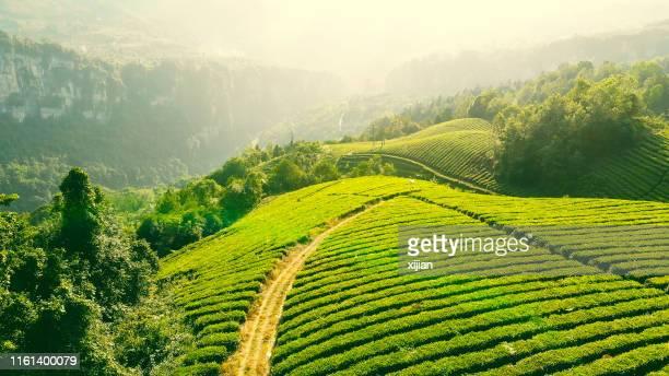 tea farm - tea tree oil stock photos and pictures