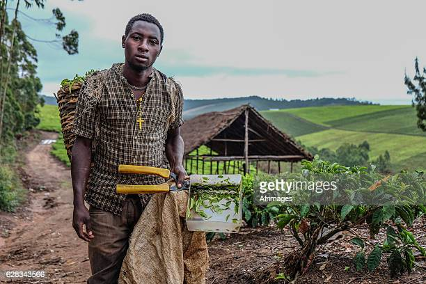 tea farmer - tanzania stock pictures, royalty-free photos & images