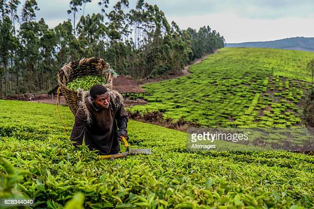 tea farmer - east africa stock photos and pictures