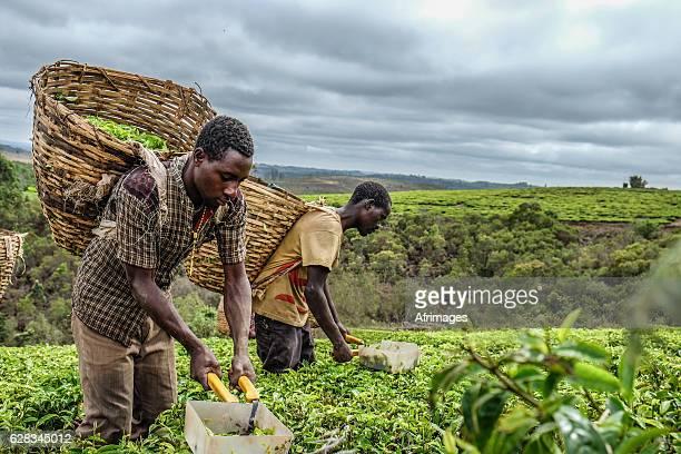 tea farmers - tanzania fotografías e imágenes de stock