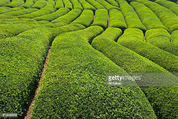 tea field in rize, black sea region of turkey - ali kabas stock pictures, royalty-free photos & images