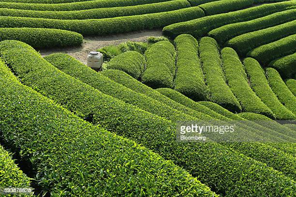 A tea field is seen at a tea plantation in Uji Kyoto Prefecture Japan on Friday May 20 2016 The Japanese tea harvesting season varies regionally but...