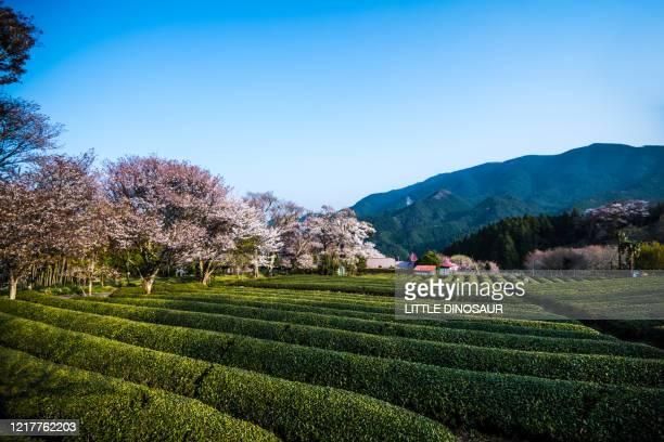 tea fields and cherry blossoms - 四月 ストックフォトと画像