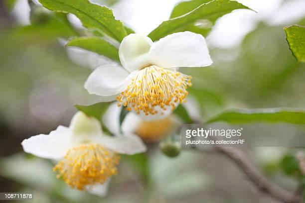 Tea flower, Close-up