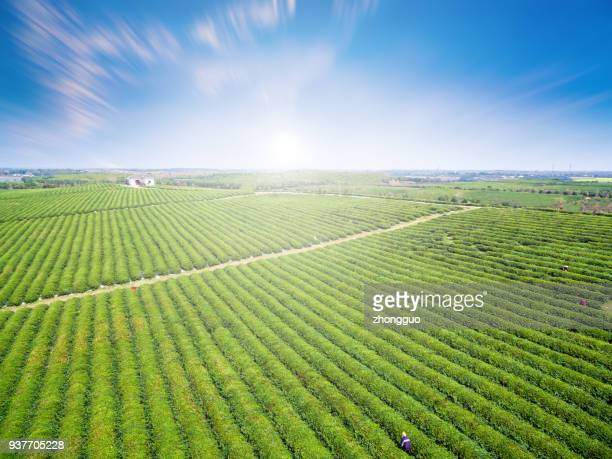 tea garden aerial view - yunnan province stock pictures, royalty-free photos & images