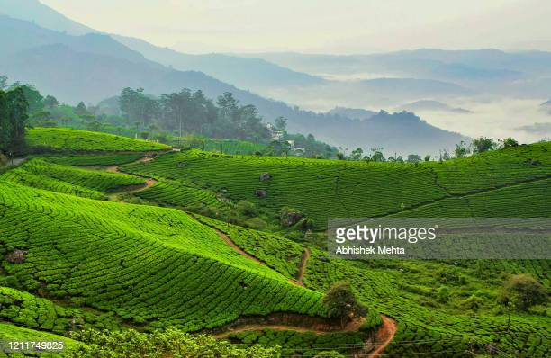tea garden against foggy mountains - tea crop stock pictures, royalty-free photos & images