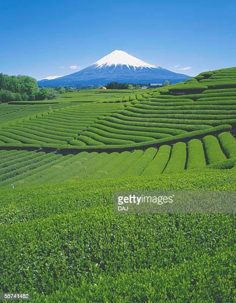 Tea Garden and Mt. Fuji