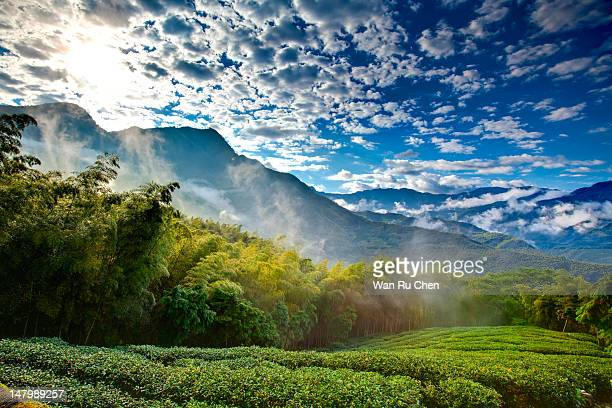 tea garden in fog morning - taiwan stock pictures, royalty-free photos & images