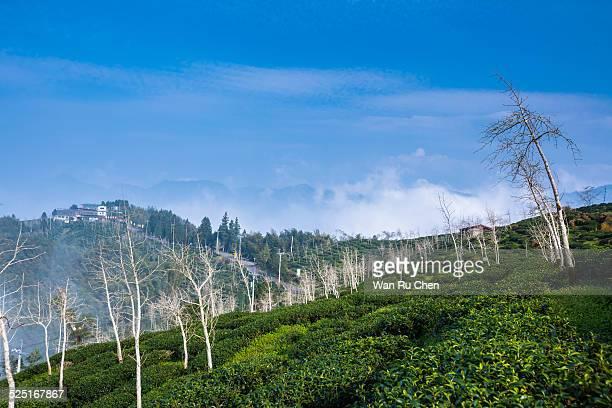 Tea garden in the fog
