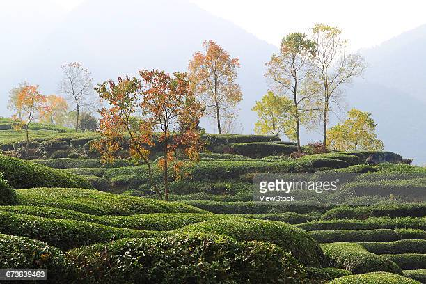 Tea garden in Yixian County, Anhui Province,China